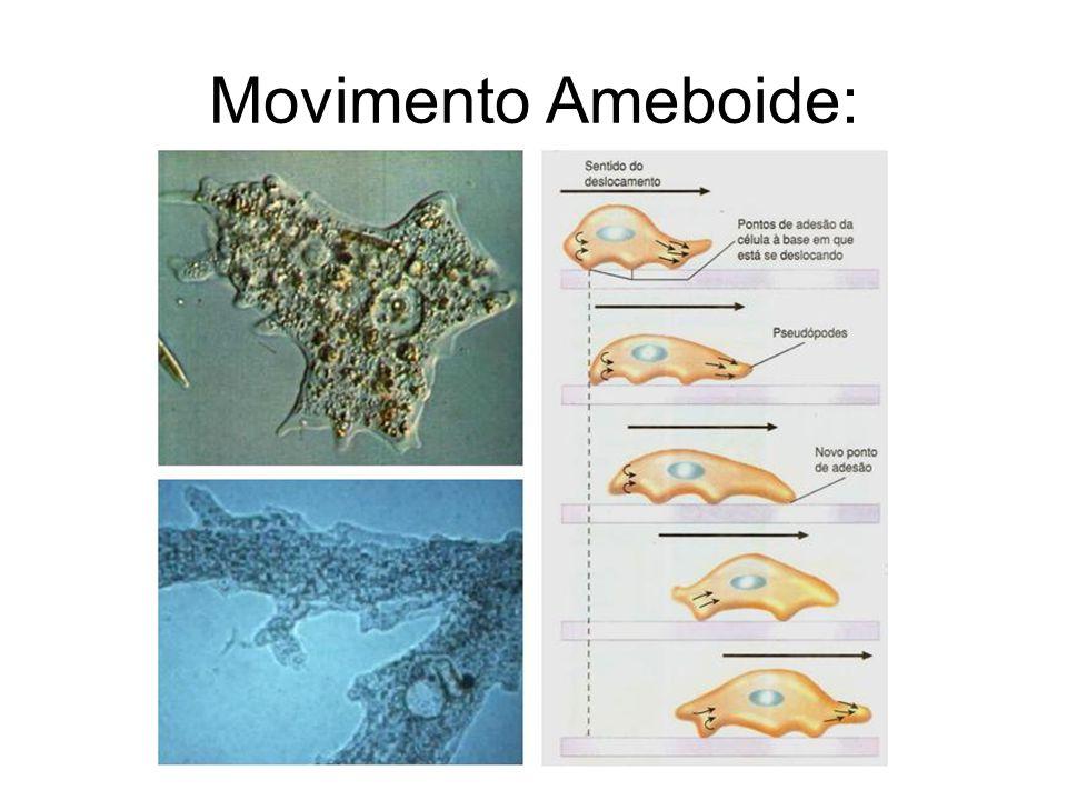 Tipos de movimentação celular: Ciclose