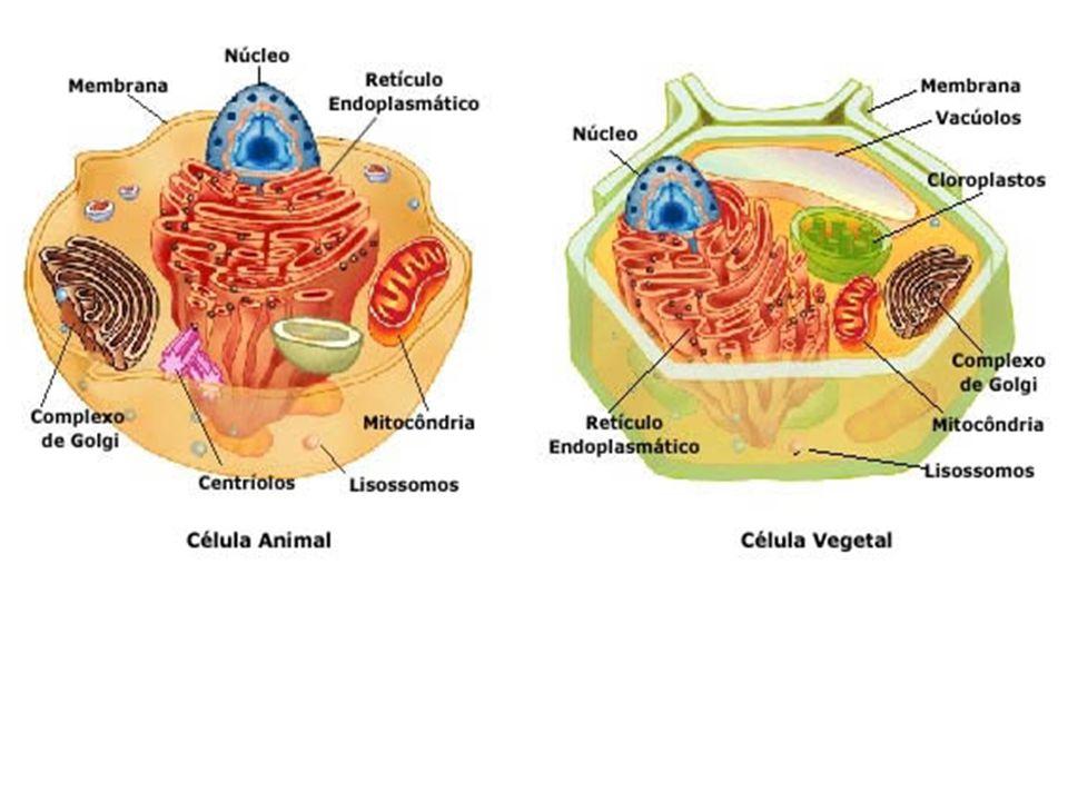 Diferenças entre células animais e vegetais: