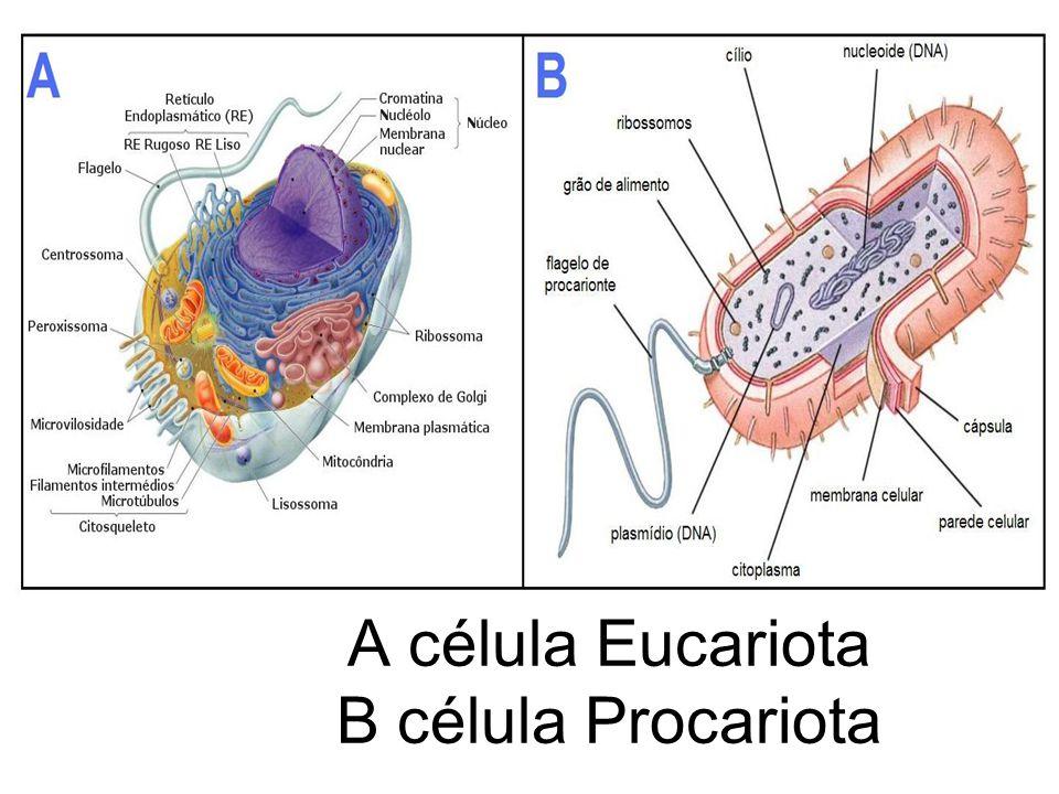 Estruturas das células Basicamente uma célula é formada por três partes básicas: –Membrana: capa que envolve a célula; –Citoplasma: região que fica entre a membrana e o núcleo; –Núcleo: estrutura que controla as atividades celulares.