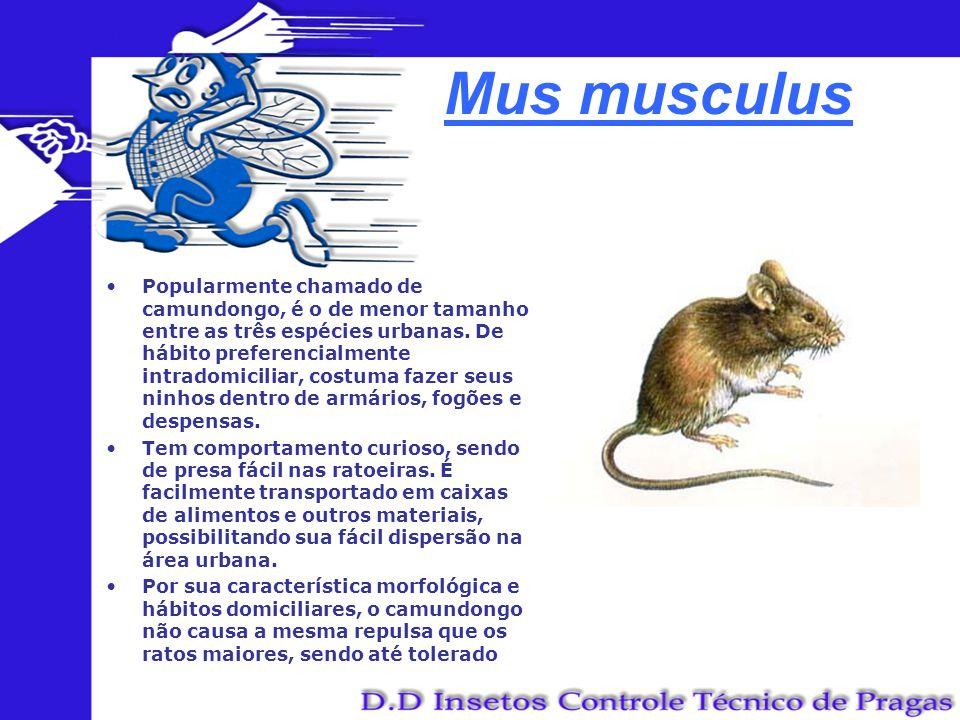 Mus musculus Popularmente chamado de camundongo, é o de menor tamanho entre as três espécies urbanas. De hábito preferencialmente intradomiciliar, cos