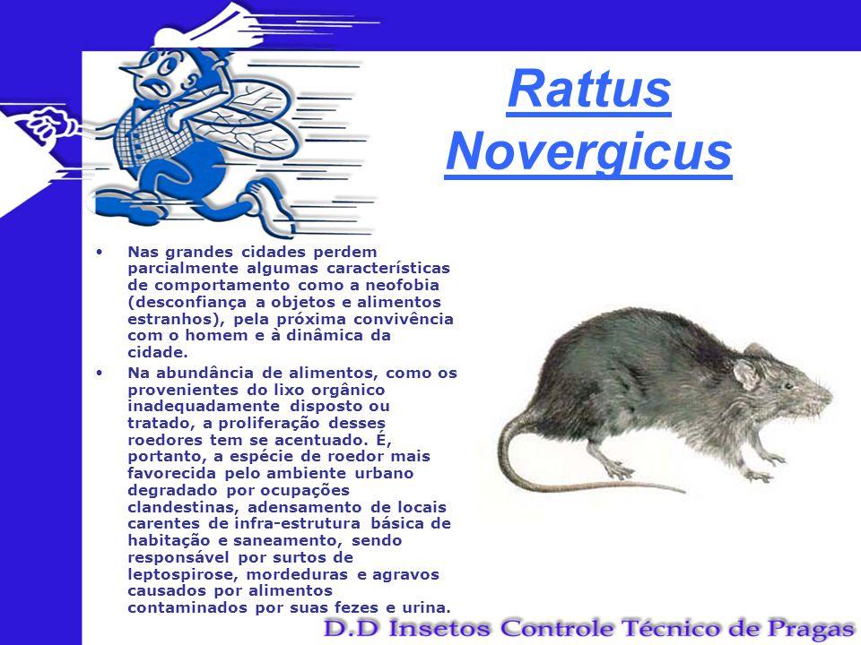 Rattus Novergicus Nas grandes cidades perdem parcialmente algumas características de comportamento como a neofobia (desconfiança a objetos e alimentos