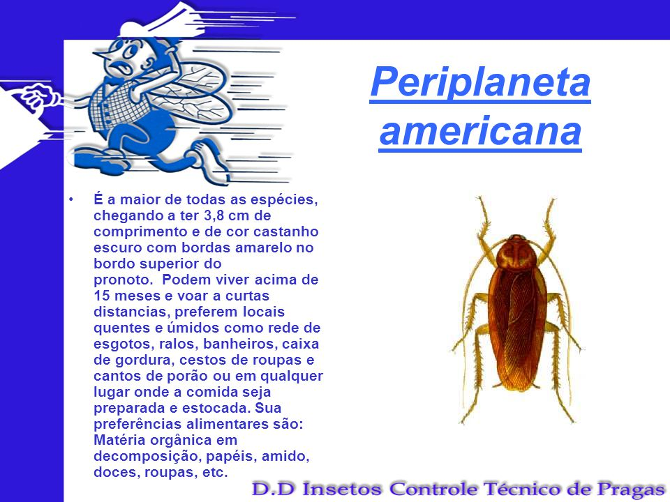 Periplaneta americana É a maior de todas as espécies, chegando a ter 3,8 cm de comprimento e de cor castanho escuro com bordas amarelo no bordo superi