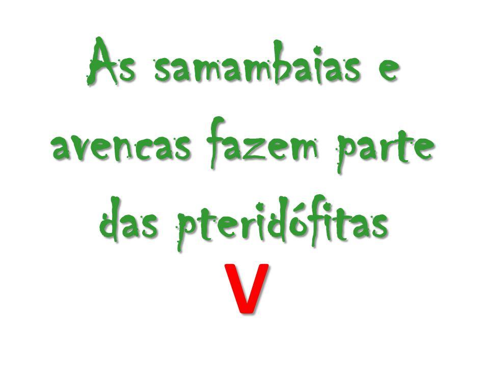 As samambaias e avencas fazem parte das pteridófitas V