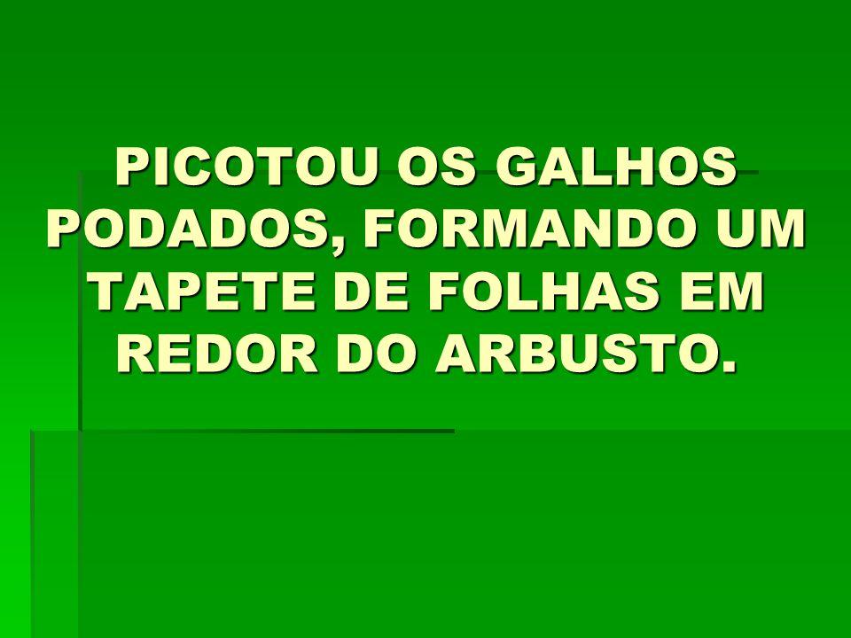PICOTOU OS GALHOS PODADOS, FORMANDO UM TAPETE DE FOLHAS EM REDOR DO ARBUSTO.
