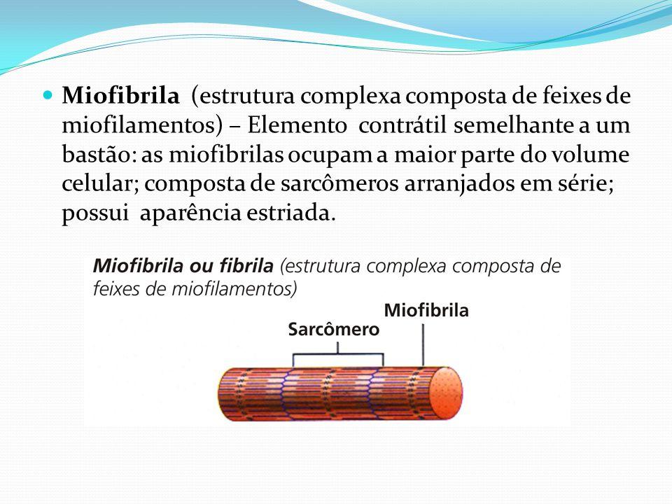 Miofibrila (estrutura complexa composta de feixes de miofilamentos) – Elemento contrátil semelhante a um bastão: as miofibrilas ocupam a maior parte d