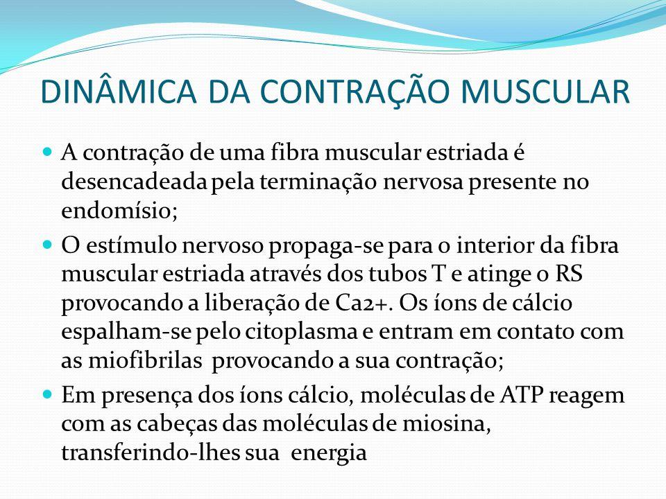 DINÂMICA DA CONTRAÇÃO MUSCULAR A contração de uma fibra muscular estriada é desencadeada pela terminação nervosa presente no endomísio; O estímulo ner