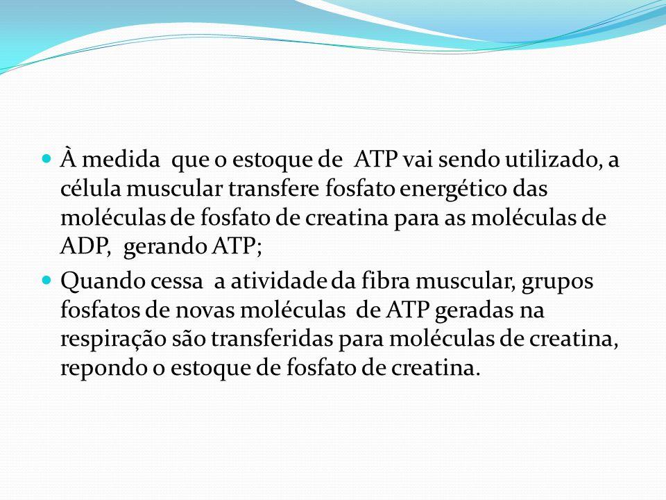 À medida que o estoque de ATP vai sendo utilizado, a célula muscular transfere fosfato energético das moléculas de fosfato de creatina para as molécul