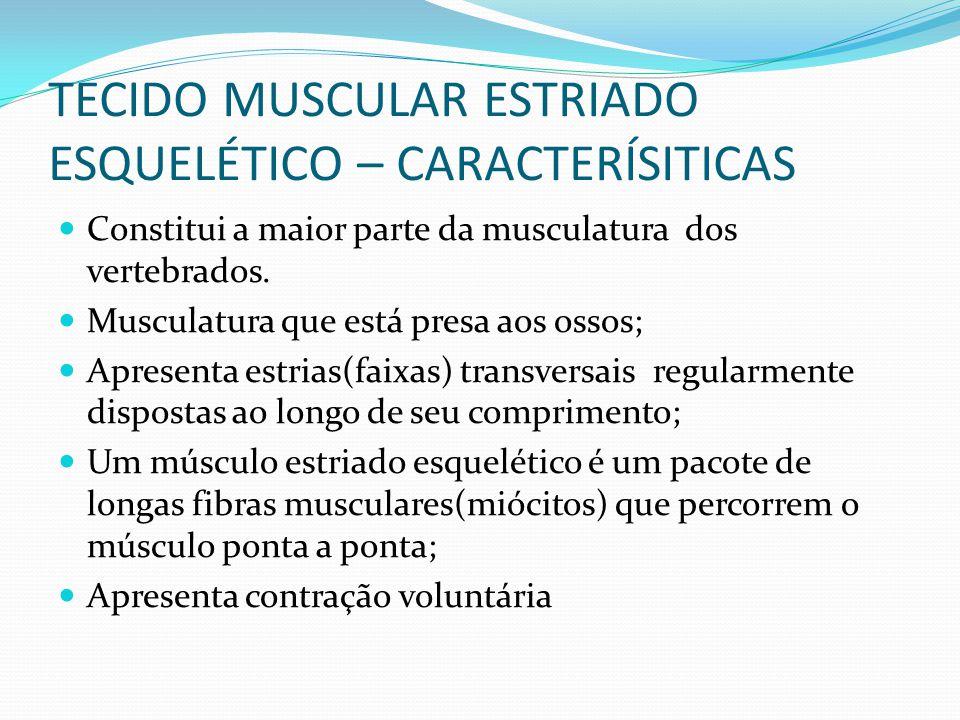 TECIDO MUSCULAR ESTRIADO ESQUELÉTICO – CARACTERÍSITICAS Constitui a maior parte da musculatura dos vertebrados. Musculatura que está presa aos ossos;