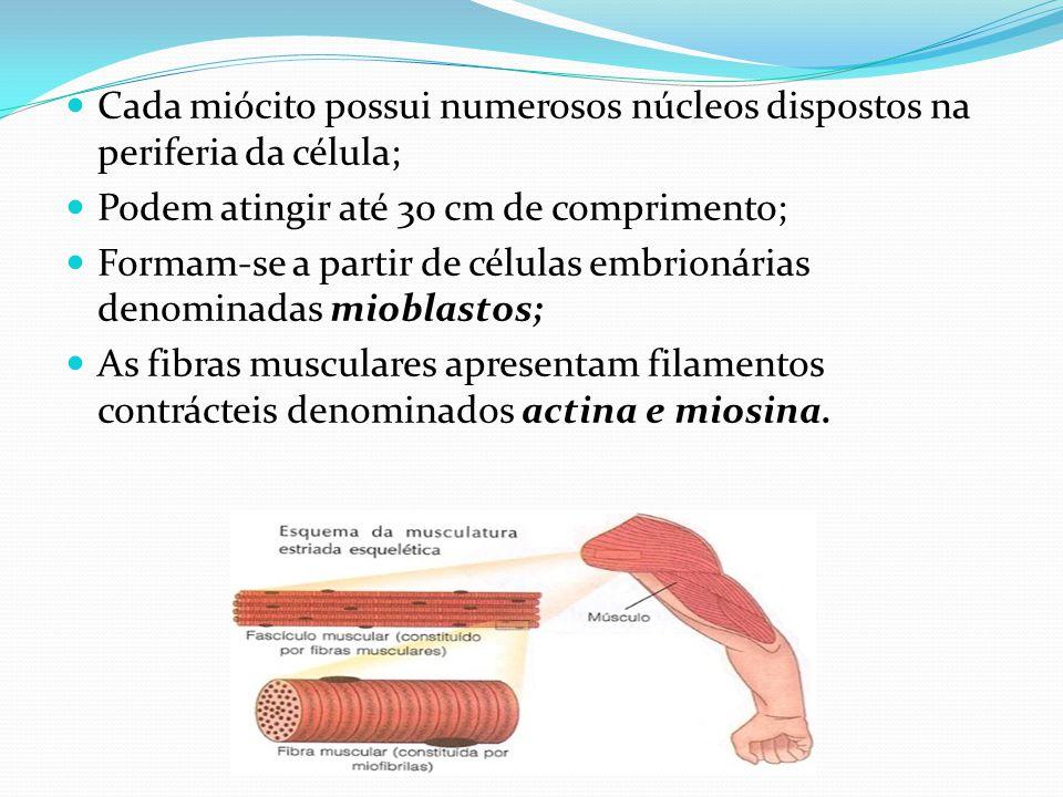 Cada miócito possui numerosos núcleos dispostos na periferia da célula; Podem atingir até 30 cm de comprimento; Formam-se a partir de células embrioná