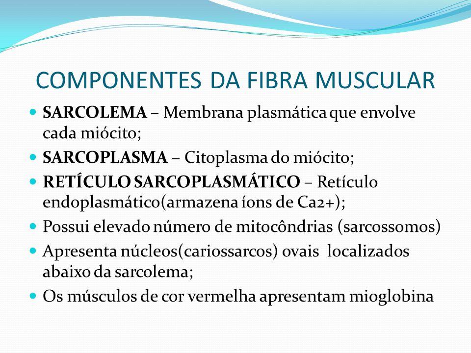 COMPONENTES DA FIBRA MUSCULAR SARCOLEMA – Membrana plasmática que envolve cada miócito; SARCOPLASMA – Citoplasma do miócito; RETÍCULO SARCOPLASMÁTICO