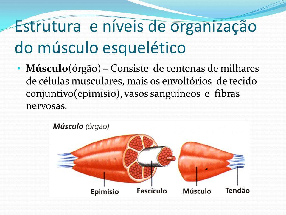 Estrutura e níveis de organização do músculo esquelético Músculo(órgão) – Consiste de centenas de milhares de células musculares, mais os envoltórios