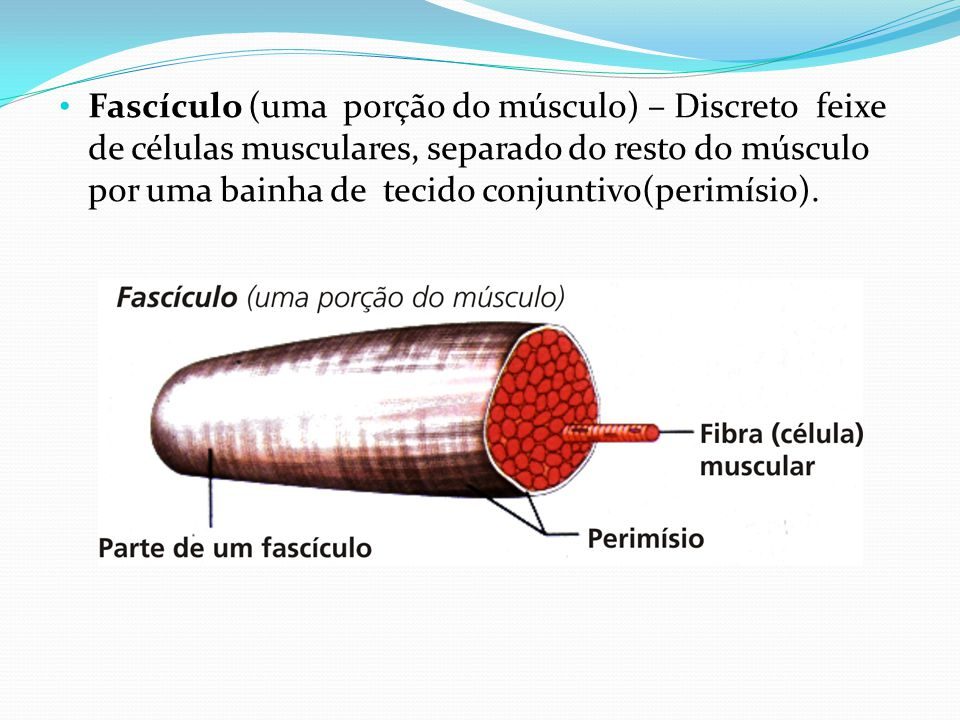 Fascículo (uma porção do músculo) – Discreto feixe de células musculares, separado do resto do músculo por uma bainha de tecido conjuntivo(perimísio).