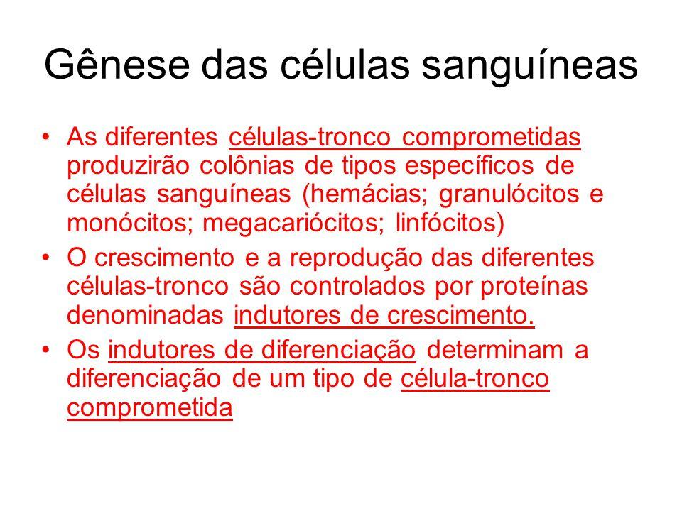 Gênese das células sanguíneas As diferentes células-tronco comprometidas produzirão colônias de tipos específicos de células sanguíneas (hemácias; gra