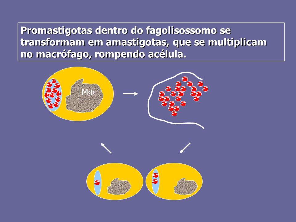 Promastigotas dentro do fagolisossomo se transformam em amastigotas, que se multiplicam no macrófago, rompendo acélula. MM