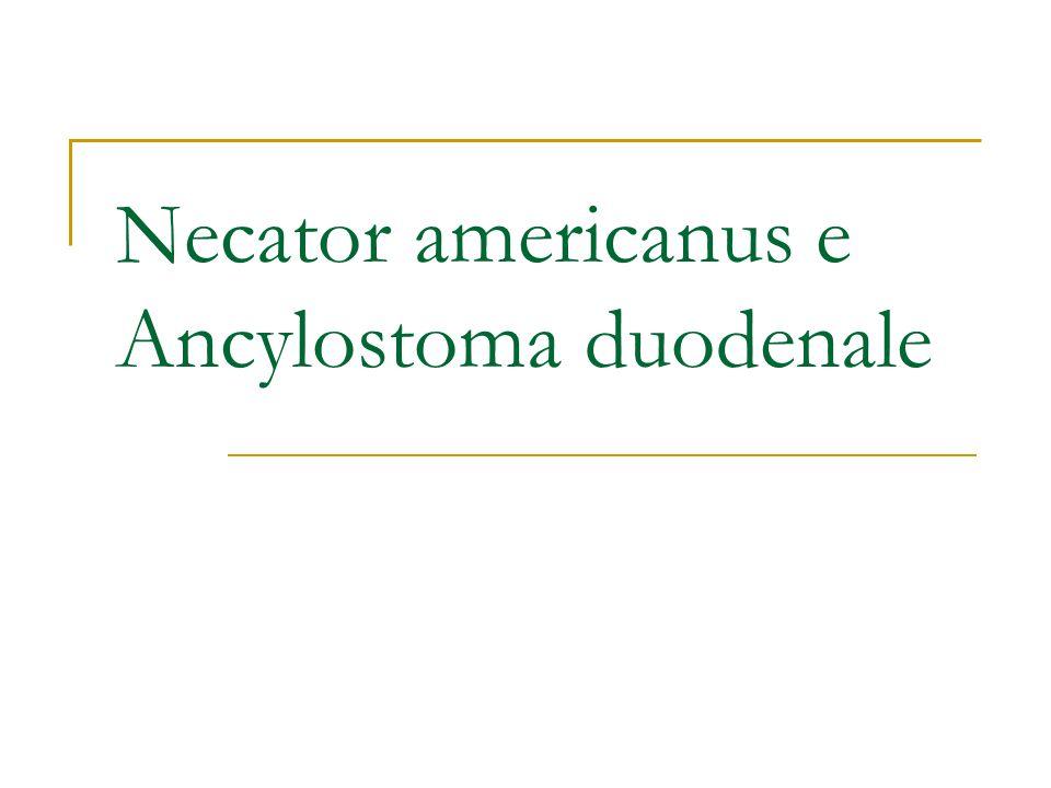 Necator americanus e Ancylostoma duodenale