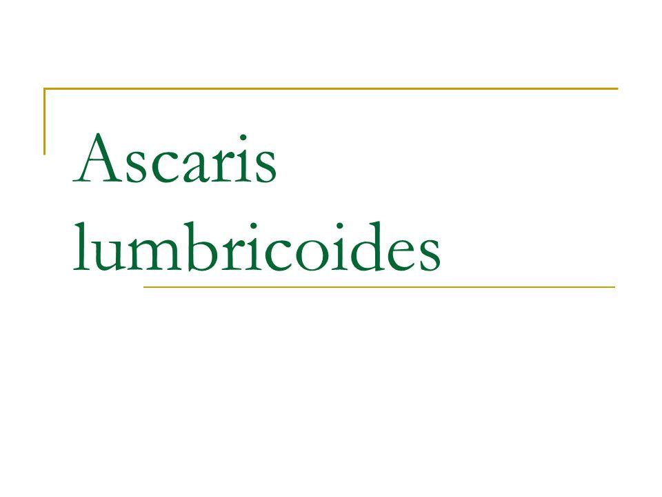 Necator americanus e Ancylostoma duodenale 2ª helmintíase mais comum 1 bilhão de pessoas Ancylostoma: Velho Mundo Necator: Novo Mundo