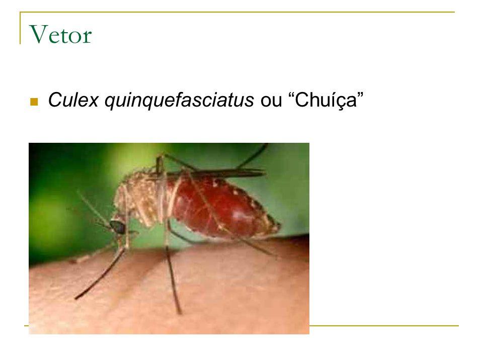 Vetor Culex quinquefasciatus ou Chuíça