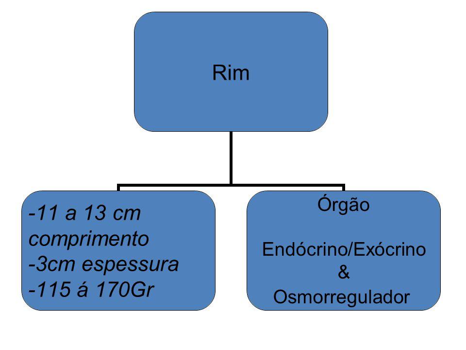 Rim -11 a 13 cm comprimento -3cm espessura -115 á 170Gr Órgão Endócrino/Exócrino & Osmorregulador