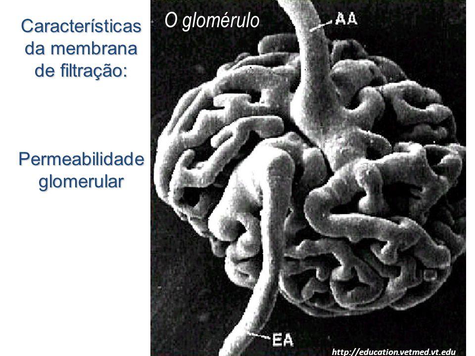 O glomérulo http://education.vetmed.vt.edu/ Características da membrana de filtração: Permeabilidade glomerular