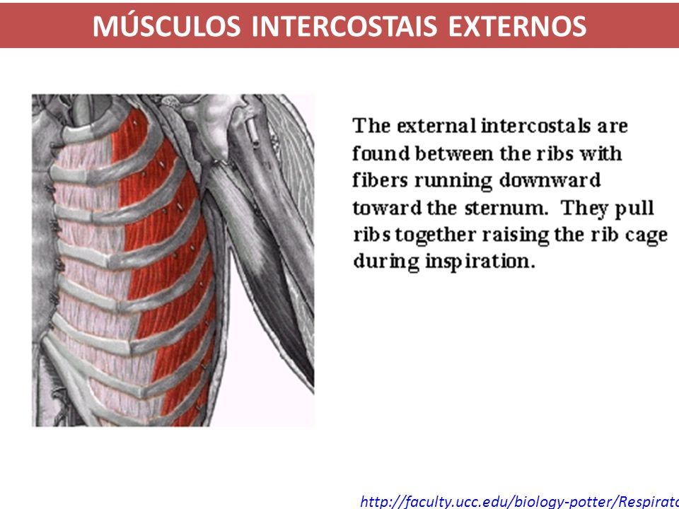 http://faculty.ucc.edu/biology-potter/Respiratory_System/sld013.htm MÚSCULOS INTERCOSTAIS EXTERNOS