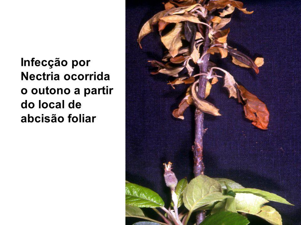 Infecção por Nectria ocorrida o outono a partir do local de abcisão foliar