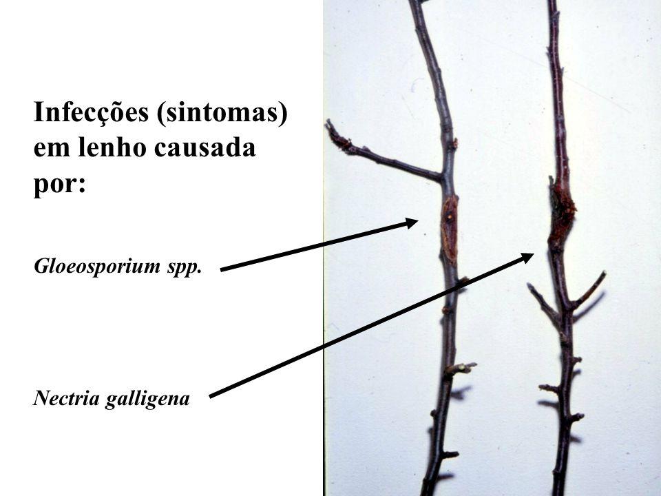 Infecções (sintomas) em lenho causada por: Gloeosporium spp. Nectria galligena