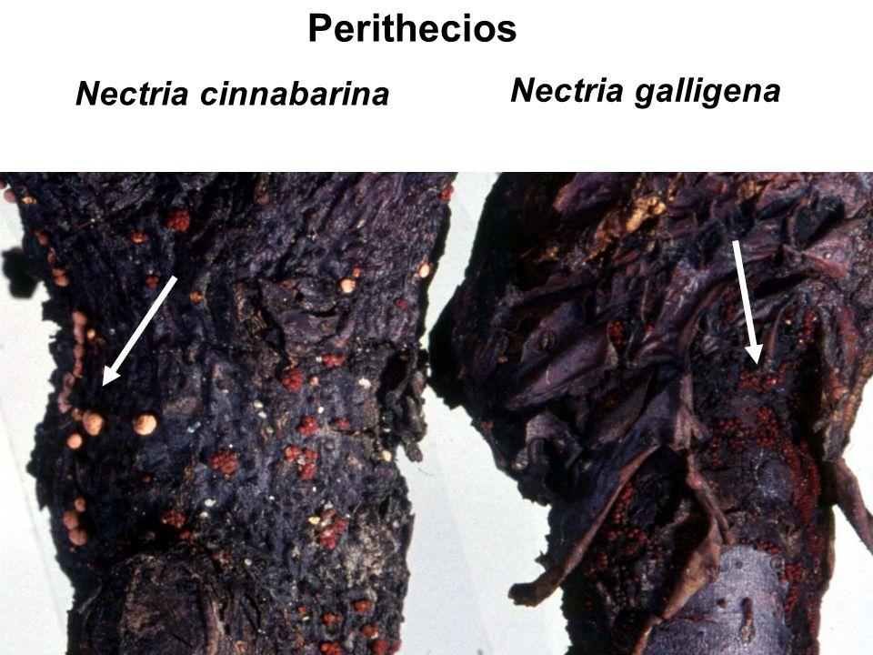 Nectria cinnabarina Nectria galligena Perithecios