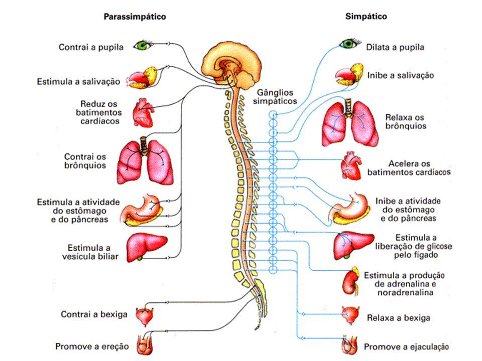 Sistema Nervoso Sistema nervoso b) Sistema Nervoso Autônomo É dividido em duas partes: I.Simpático II.Parassimpático  Sistema Nervoso Simpático: Prep