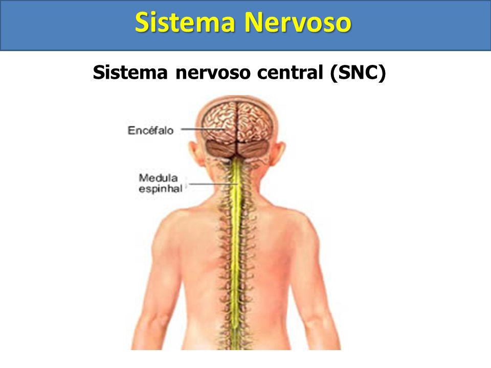 Sistema Nervoso Organização estrutural do sistema nervoso humano Sistema Nervoso Central (SNC) Encéfalo Cérebro Cerebelo Tronco Encefálico Mesencéfalo