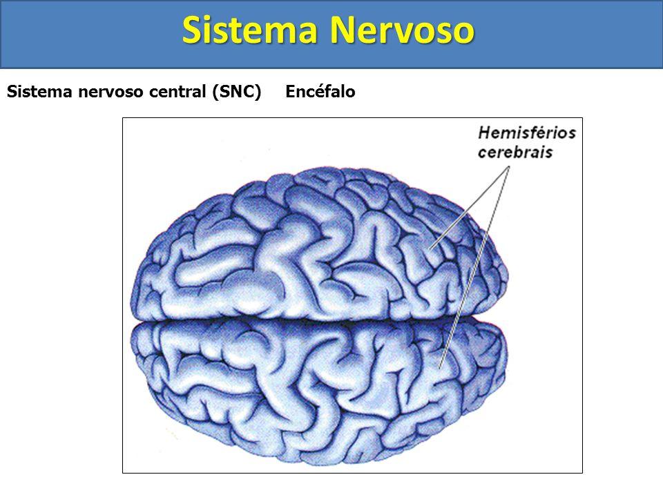 Sistema Nervoso Sistema nervoso central (SNC) Encéfalo  Possui cerca de 1,4 kg nos adultos  Está localizado na caixa craniana  Dividido em 3 partes
