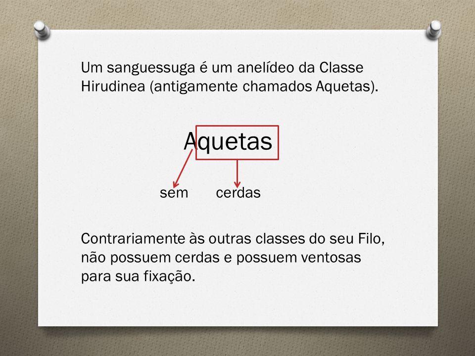 Um sanguessuga é um anelídeo da Classe Hirudinea (antigamente chamados Aquetas). Aquetas sem cerdas Contrariamente às outras classes do seu Filo, não