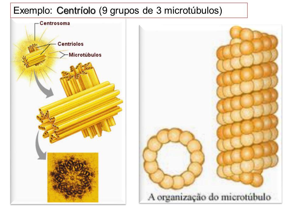 Centríolo Exemplo: Centríolo (9 grupos de 3 microtúbulos)