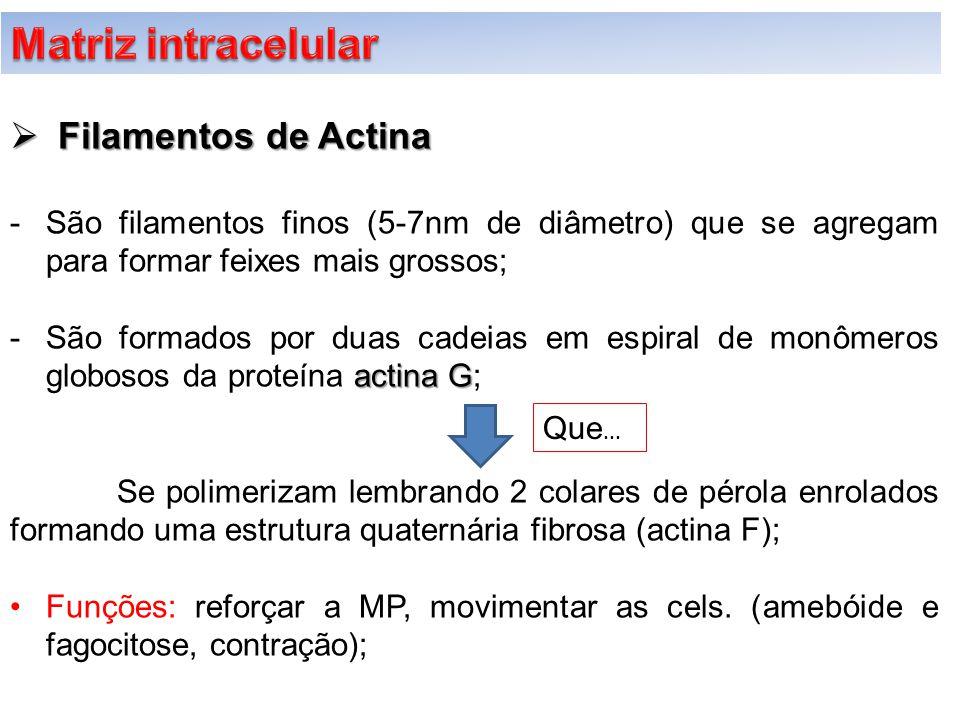  Filamentos de Actina -São filamentos finos (5-7nm de diâmetro) que se agregam para formar feixes mais grossos; actina G -São formados por duas cadei