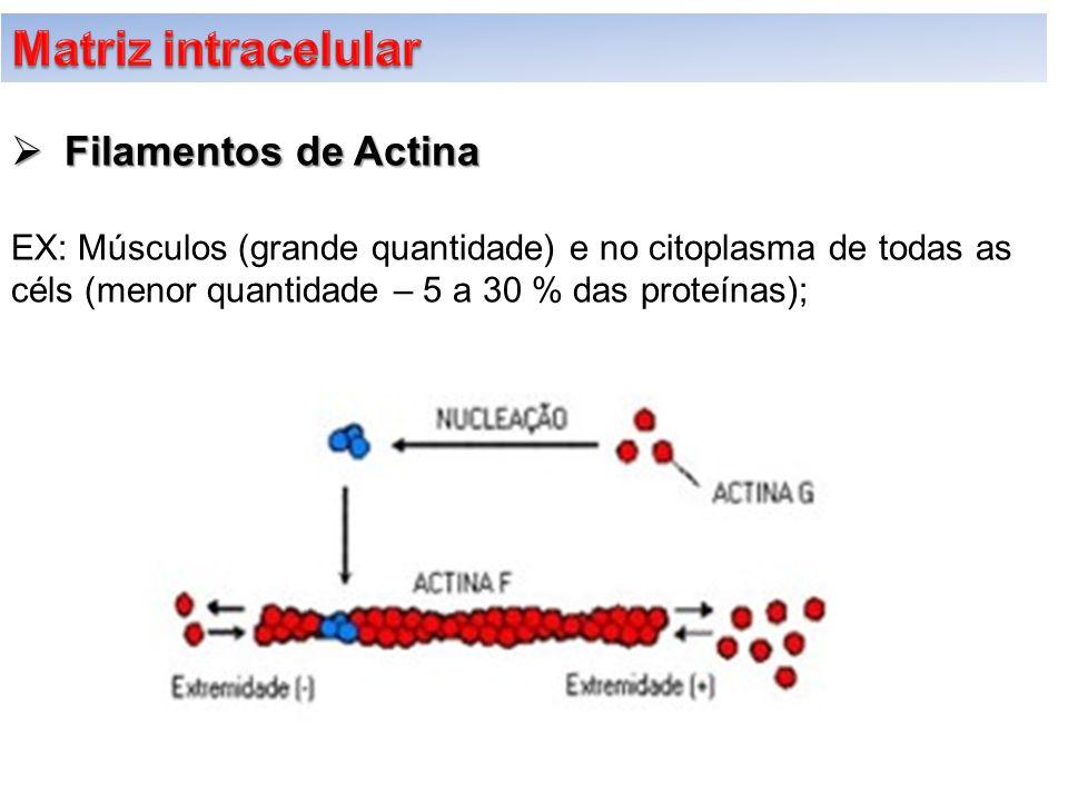  Filamentos de Actina EX: Músculos (grande quantidade) e no citoplasma de todas as céls (menor quantidade – 5 a 30 % das proteínas);