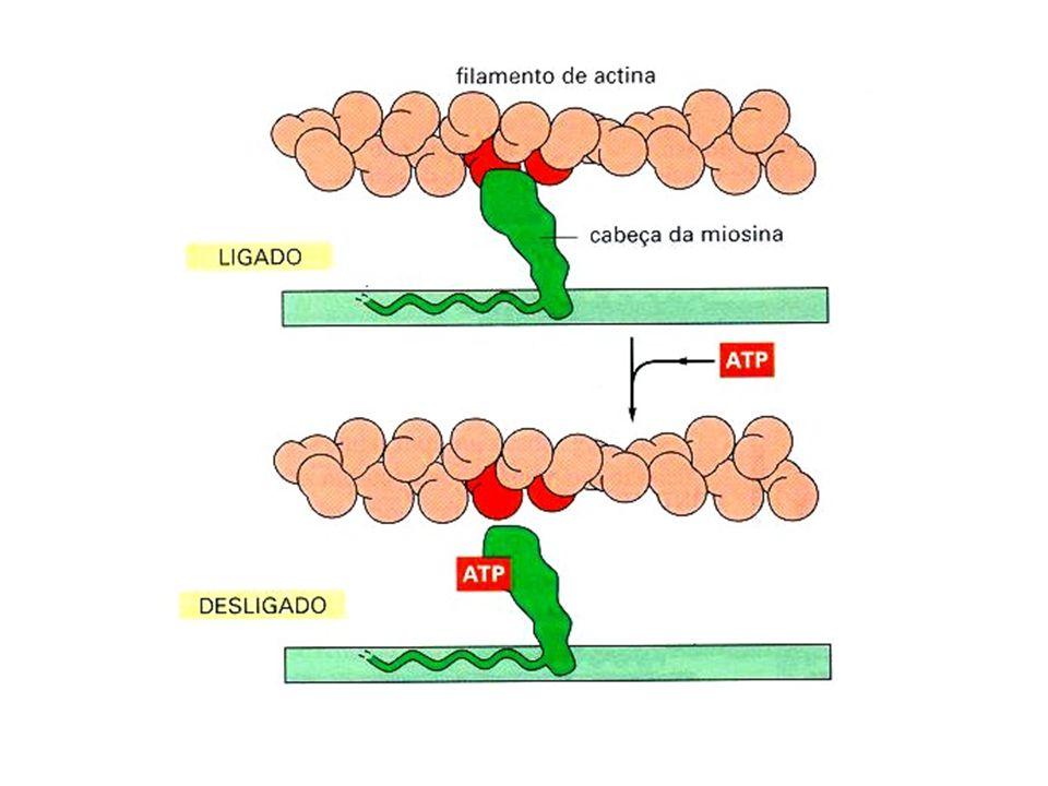  Filamentos Intermediários -São agregações de moléculas protéicas alongadas em hélice; -Não são constituídos por monômeros que se agregam e separam (99% permanecem intacto quando ocorre um rompimento celular); -Apresentam um diâmetro intermediário (8-10nm) entre os filamentos de miosina (mais grossos) e actina (mais finos); -São + estáveis que os microtúbulos e filamentos de actina; elementos estruturas -São apenas elementos estruturas; -EX: epiderme (desmossomos), axônios, neurônios, céls musculares;