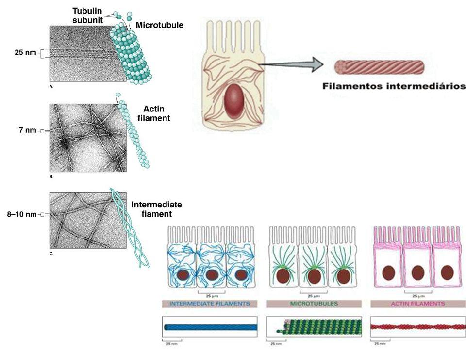  Conceito: complexo de componentes fibrosos -As céls apresentam um espaço extracelular (fora) preenchido por um complexo de componentes fibrosos; Matriz extracelular