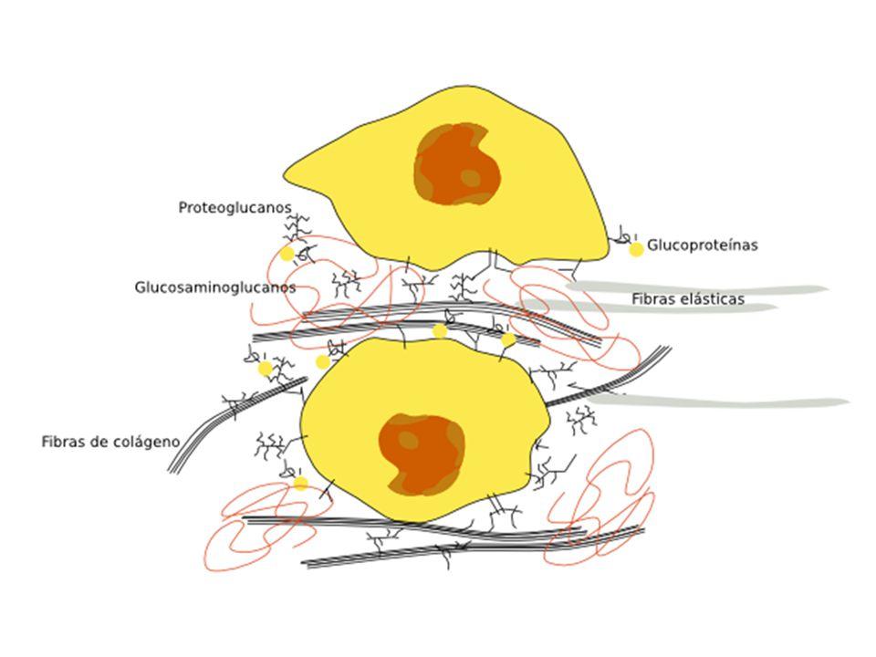 - Complexo - Complexo – proteínas fibrosas (colágeno e elastina) embebidas em um gel hidrofílico de polissacarídeos associados ou não a proteína Se organizam formando uma rede (responsável pela morfologia, função e patologia) -A quantidade de MEC é variável com o tipo de tecido; Função