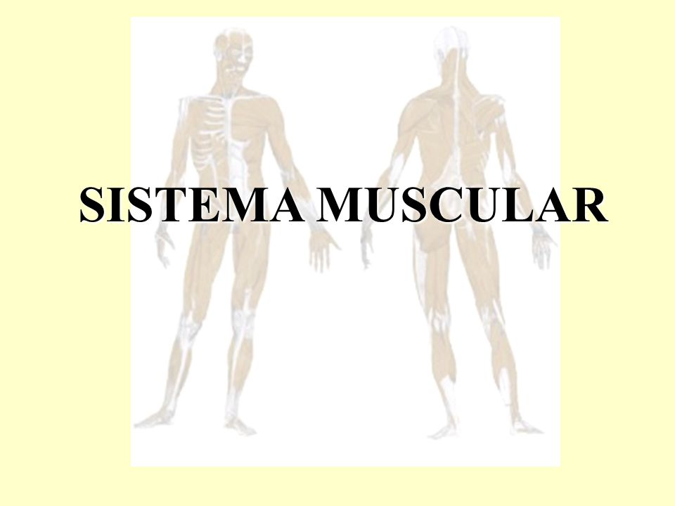 É também chamado de músculo estriado ou músculo voluntário.