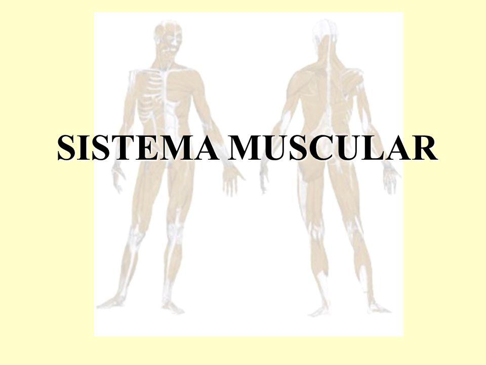 Estrutura microscópica da fibra muscular esquelética Localizar a Miofibrila.