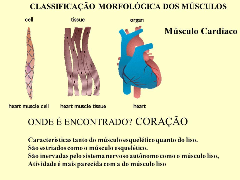 ONDE É ENCONTRADO.CORAÇÃO Características tanto do músculo esquelético quanto do liso.