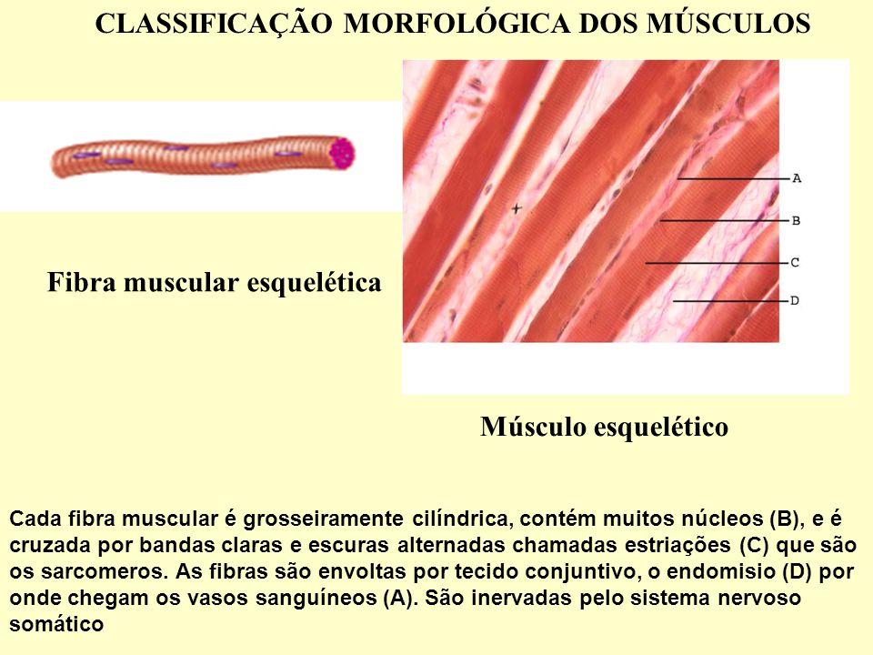 Cada fibra muscular é grosseiramente cilíndrica, contém muitos núcleos (B), e é cruzada por bandas claras e escuras alternadas chamadas estriações (C) que são os sarcomeros.