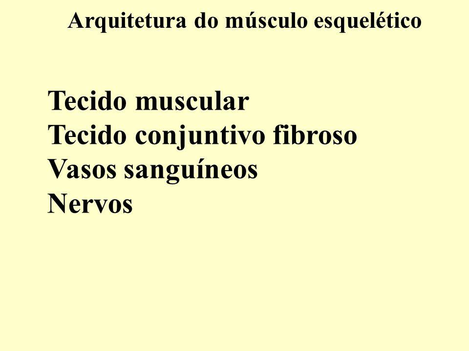 Arquitetura do músculo esquelético Tecido muscular Tecido conjuntivo fibroso Vasos sanguíneos Nervos
