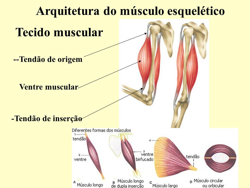 Arquitetura do músculo esquelético Tecido muscular Ventre muscular --Tendão de origem -Tendão de inserção