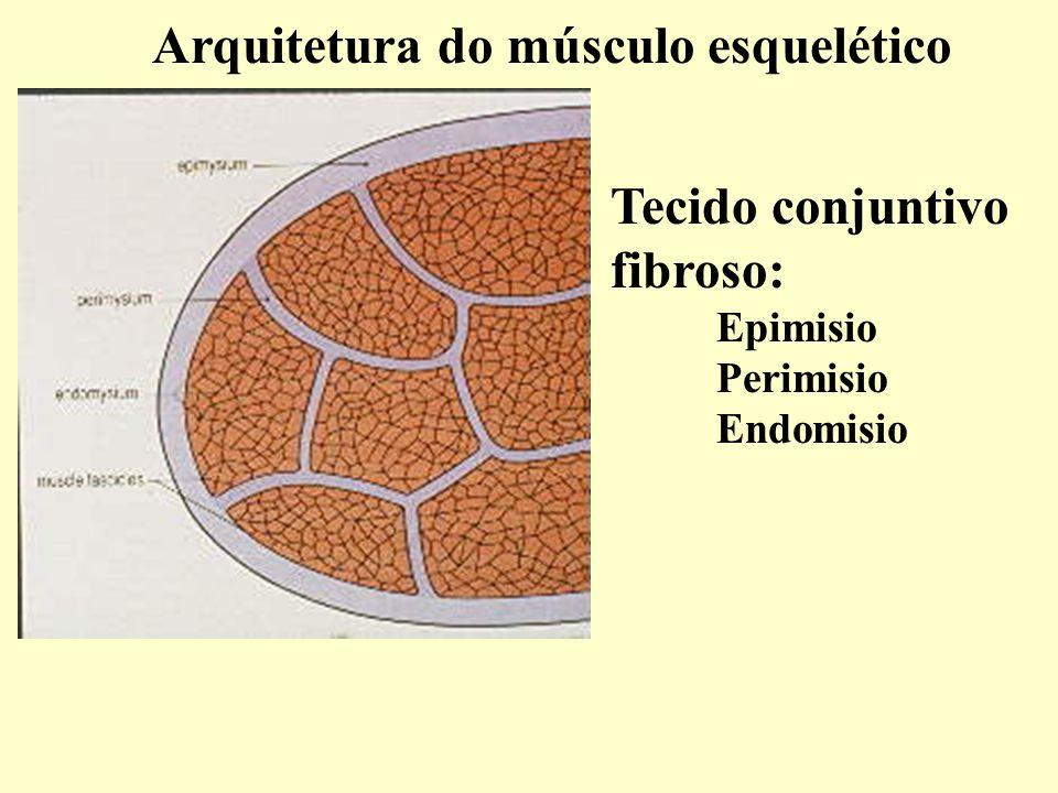 Arquitetura do músculo esquelético % Tecido conjuntivo fibroso: Epimisio Perimisio Endomisio