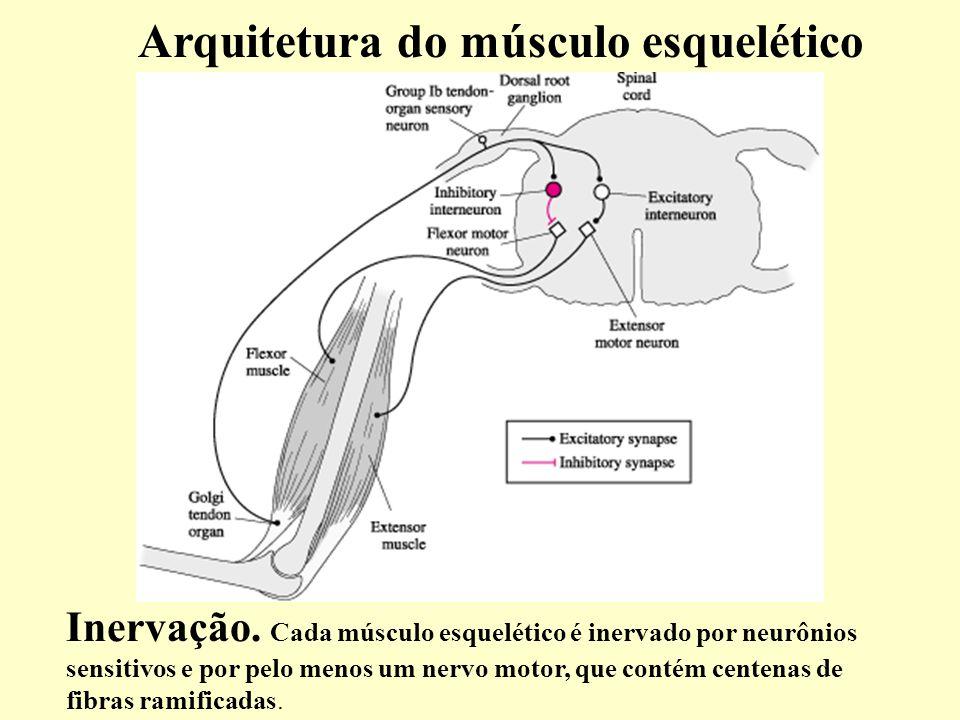 Arquitetura do músculo esquelético Inervação.