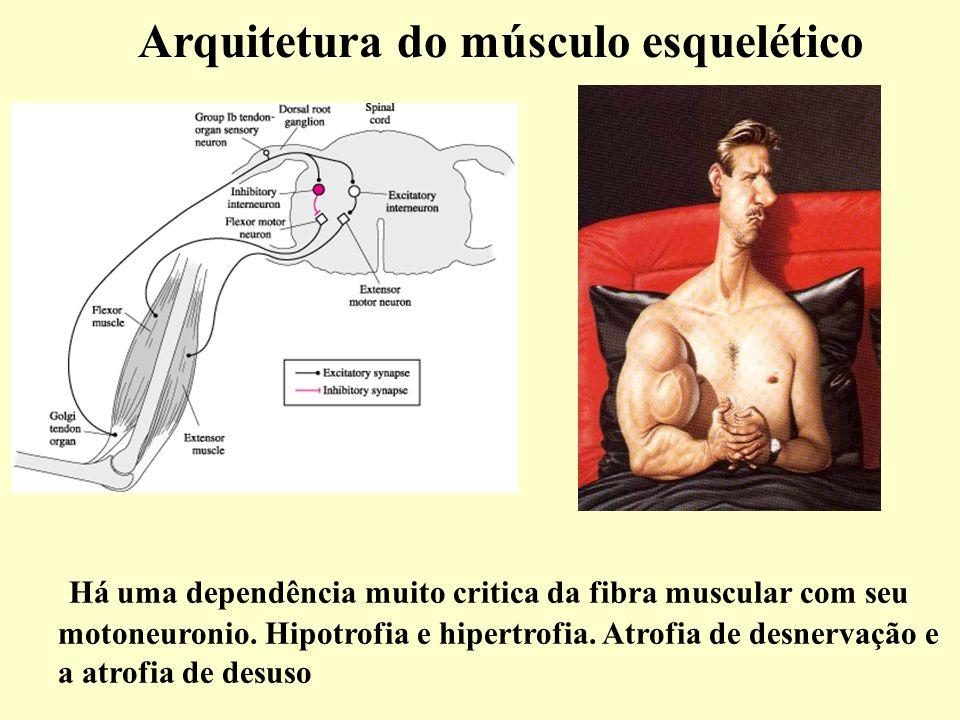 Arquitetura do músculo esquelético Há uma dependência muito critica da fibra muscular com seu motoneuronio.