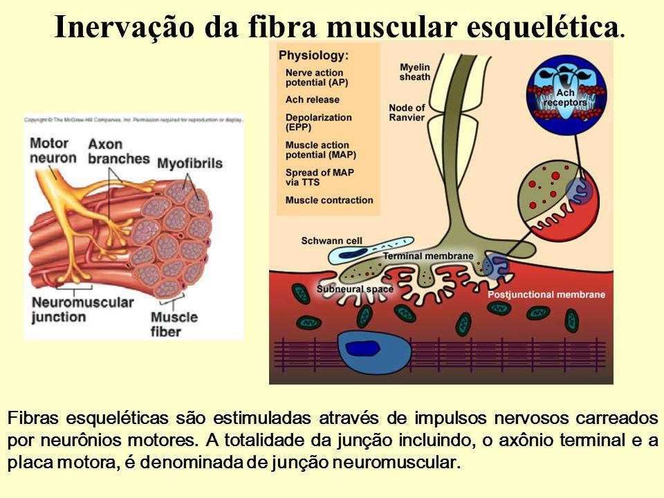 Inervação da fibra muscular esquelética.