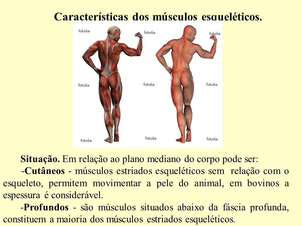Características dos músculos esqueléticos.Situação.