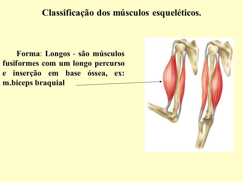Classificação dos músculos esqueléticos.