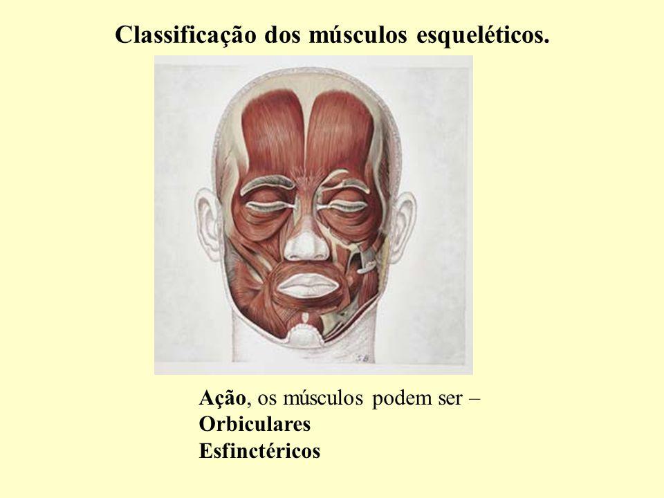 Classificação dos músculos esqueléticos. Ação, os músculos podem ser – Orbiculares Esfinctéricos